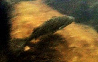 約15年ぶりに西表島で確認され、赤塚義之さんが動画撮影した絶滅危惧種のカワボラ=16日、竹富町西表島・浦内川(西表島エコツーリズム協会提供)