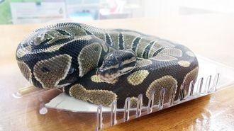 那覇署で保護されているボールパイソンとみられるヘビ