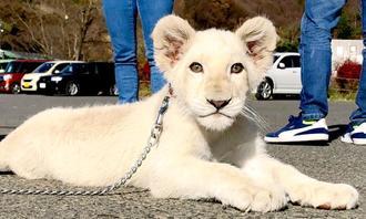 沖縄こどもの国にやって来る雌のホワイトライオン「リズム」=11月中旬、福島県・東北サファリパーク(東北サファリパーク提供)
