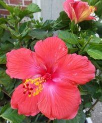 ニュージャージー州ではハイビスカスが春から夏にかけて店や人家の玄関先で見られる。見るたびにウチナーを思い出す