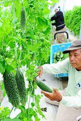 すくすく育ったゴーヤーを収穫する農家=7日、糸満市真栄平(松田興平撮影)