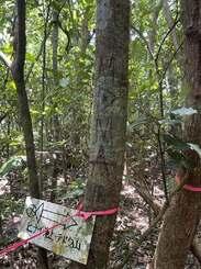 世界自然遺産推薦区域内の樹木の幹に書かれた「MDMA」の落書き=23日、西表島ピナイサーラの滝周辺(西表島カヌー組合提供)