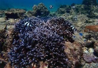 魚が住み着くまでに成長した東浜投手と嶺井捕手のサンゴ苗=2017年12月(沖電開発提供)