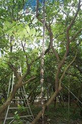 今帰仁村内の畑で見つかった2メートルを超えるハブの死骸=同村玉城
