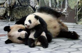 屋内運動場にデビューし、母親の「良浜」とじゃれ合うジャイアントパンダの赤ちゃん「彩浜」=11日、和歌山県白浜町