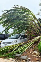 強風で大きく傾くバナナの木=5日午後3時9分、南大東村在所