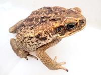 毒を持つオオヒキガエル、10年ぶり確認 沖縄・西表島の生態系に悪影響懸念