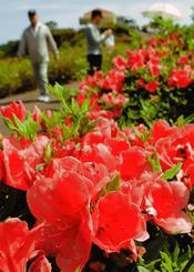 色鮮やかに咲き誇るツツジ=5日、東村村民の森つつじ園(古謝克公撮影)