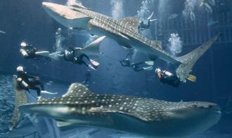 引っ越し用コンテナに誘導されるジンベエザメのメスの個体(上)=15日、沖縄美ら海水族館(同水族館提供)