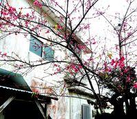 うちのピンクが1番さー 沖縄の集落で「さくら勝負」 樹齢55年のカンヒザクラ優勝