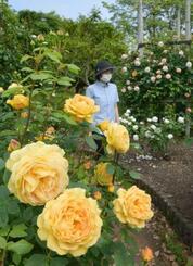 「とっとり花回廊」の恒例イベント「ばらまつり」の会場=14日午前、鳥取県南部町