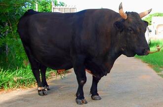 怒濤(どとう)の押し込みがさく裂するか。体重1200キロの超大型牛、二刀琉