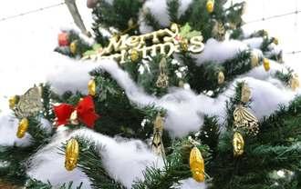 黄金色のサナギで飾り付けられたツリーで羽化するオオゴマダラ=本部町山川・竜宮城蝶々園