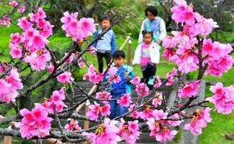 サクラに彩られた小道を散歩する子どもたち=26日午後、名護城公園(下地広也撮影)