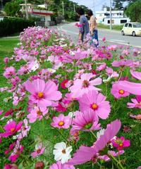成長「とても早い」 沖縄・屋我地島でコスモス満開