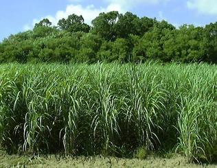 開発段階の黒糖専用サトウキビ。糖蜜の割合が高い品種や水分量が少ない品種などを掛け合わせて開発した=(県農業研究センター提供)