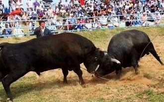 最近は年5回程度しか開催されない野外での闘牛。「祭り闘牛」は沖縄の伝統娯楽をノスタルジックに味わうことができる貴重な機会=2014年10月26日の第17回読谷まつり闘牛大会の3番戦