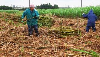 雨が降る中、サトウキビの収穫を急ぐ農家=13日午後、宮古島市城辺