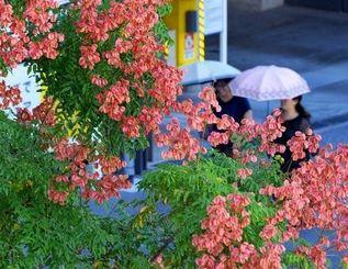 鮮やかなピンク色の実をつけ、見ごろを迎えたタイワンモクゲンジ=19日午後、那覇市壺川(長崎健一撮影)