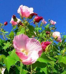 白から濃いピンクに変色する一重咲きのスイフヨウ=名護市饒平名の県道110号沿い