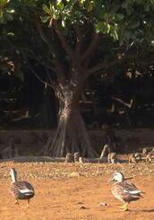 ヒルギの木陰で休んだあとマングローブ林へ向かうカルガモ=18日、金武町・億首川