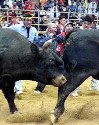 【闘牛】真正面から巨体激突! 最強牛に邁進龍 秋の全島大会