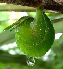 (1)フタオチョウの前蛹。逆さにぶら下がって2日間過ごす