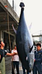 「成光丸」から水揚げされる212キロの本マグロ=16日、那覇市・泊漁港