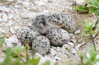 利用者の多いビーチに、コアジサシの卵7個とひな2羽が確認された=13日、豊見城市豊崎・美らSUNビーチ(喜屋武綾菜撮影)