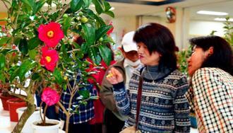ツバキの花を眺める来場者=20日、那覇市おもろまち・市緑化センター