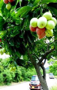 見た目は甘そうですが…実は猛毒! 沖縄旅行、こんな果実にご注意を