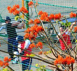 花を咲かせたボリビアデイゴのそばで練習する浦添商の野球部員=28日午後、浦添市伊祖(喜屋武綾菜撮影)