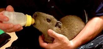 人工保育でミルクを飲むカピバラの赤ちゃん(東南植物楽園提供)