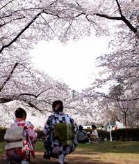 青森・弘前公園にハート形の桜 2本の木から伸びた枝重なり空に