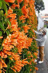 壁面いっぱいに咲き始めたカエンカズラ=2日午後、宜野湾市嘉数(国吉聡志撮影)