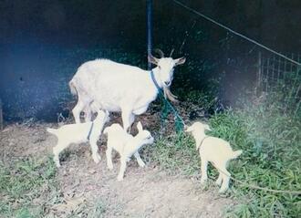 4度目の三つ子を出産した母ヤギと、すくすく育つ子ヤギ=10月、石垣島山中の飼育地(池城安廣さん提供)