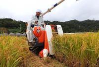 黄金色の稲穂 1期作収穫 沖縄・名護の米どころ「羽地ターブックヮ」