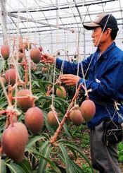 土づくりから2年余。初の収穫に備えて丁寧に摘果する比嘉吉廣さん=17日午後、読谷村喜名