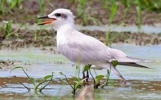 湿地を歩く第1回冬羽のハシブトアジサシ=石垣市内