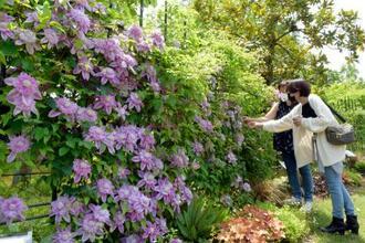 鳥取県南部町の県立フラワーパーク「とっとり花回廊」で見頃を迎えたクレマチス=14日