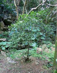 遺伝子や染色体の解析の結果、シークヮーサーの親であることが確認されたタニブタ-の木=2020年11月、大宜味村内(同大学提供)