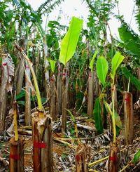 幹ごと切られた芭蕉の木=3日、大宜味村喜如嘉の芭蕉畑(西江千尋撮影)