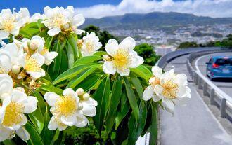 太陽の光を浴びて鮮やかさを増したイジュの花=4日午後、名護市の「神ヶ森」(下地広也撮影)
