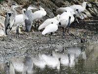 冬の使者クロツラヘラサギ、沖縄で仲良く羽休め きょう立冬