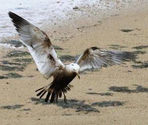 油にまみれ、胴体や翼部分が黒く染まっているウミネコ=石垣市、新川川河口