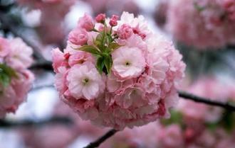 「桜の通り抜け」で今年の花に選ばれた「紅手まり」(造幣局提供)