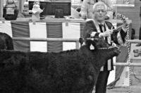 肉用牛の初競り 子牛高値125万円/多良間の家畜市場