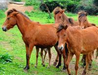 一体何が?「宮古馬」3年で16頭死ぬ 一部飼育者で多発 沖縄県の天然記念物