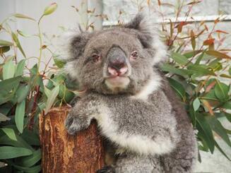 「史上最高齢の飼育されたコアラ」としてギネス世界記録を更新した「みどり」=1日、兵庫県南あわじ市(淡路ファームパーク提供)