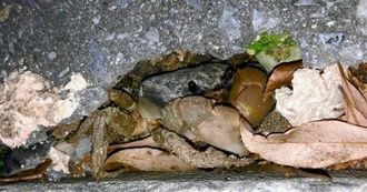 アスファルトにできた穴に住むオカガニ。夜に出合えることが多い=那覇市若狭(宮城潤さん提供)